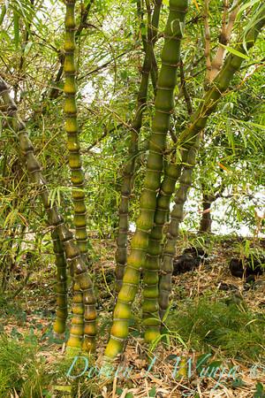 Bambusa ventricosa_001