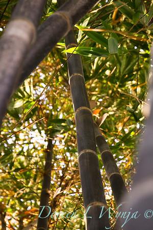 Phyllostachys nigra 'Black Bamboo' large_9605