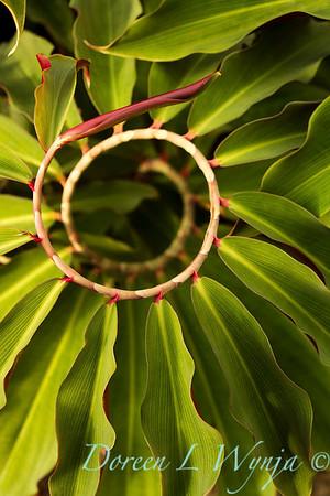 Costus spiraling ginger_9658
