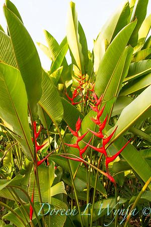 Heliconia farinosa 'Rio'_9572