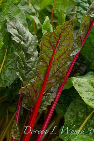 Beta vulgaris subsp  cicla - Urban vegetable garden_3670