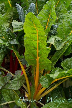 Beta vulgaris subsp  cicla - Urban vegetable garden_3667