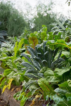 Vegetable garden Brassica kale_3641