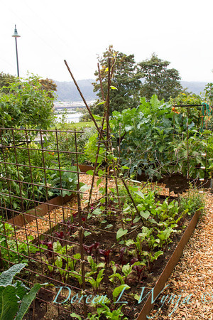 Urban Vegetable Garden_3690