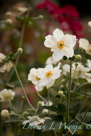 Anemone hupehensis var  japonica_2301