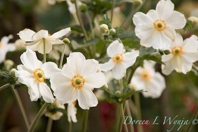 Anemone hupehensis var  japonica_2298