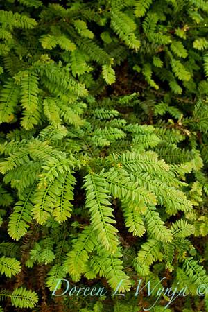 Sequoia sempervirens Cantab_010