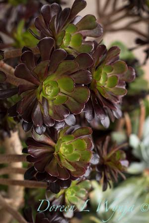 Aeonium arboreum 'Atropurpureum'_0815