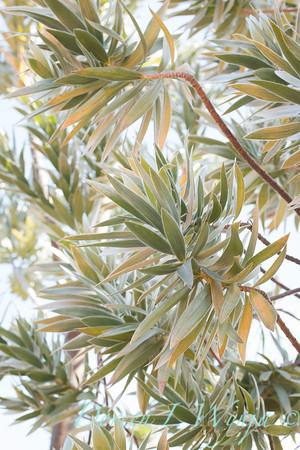 Leucadendron argenteum_0580