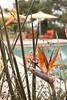 Strelitzia juncea tropical setting_0778