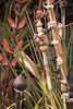 Doll Baby goes bamboo - Strelitzia juncea_0786