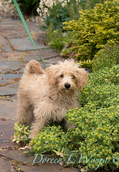 Teddy garden dog_8474