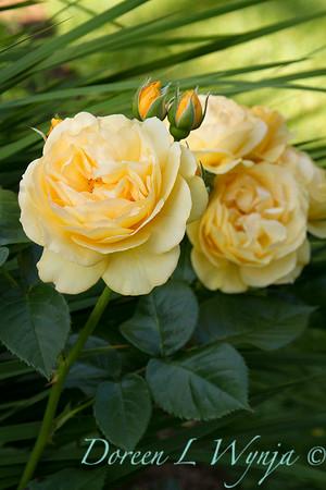 Rosa 'Julia Child'_1672