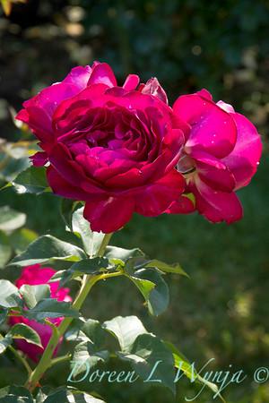 Rosa 'Wild Blue Yonder'_1488