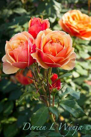 Rosa 'About Face'_1479