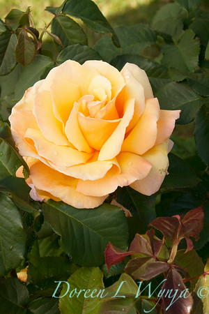 Rosa 'Tahitian Sunset'_1521