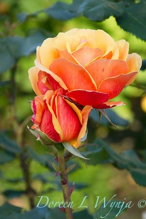 Rosa 'About Face'_1469