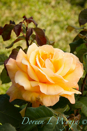 Rosa 'Tahitian Sunset'_1528