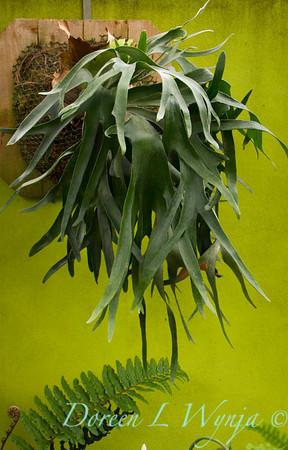 Platycerium bifurcatum - Quirk & Neill Garden_126