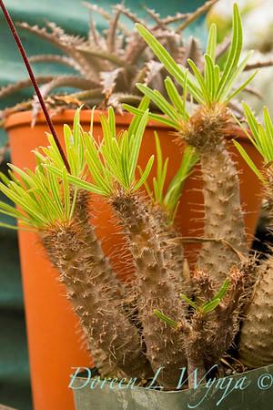 Pachypodium rosulatum_001