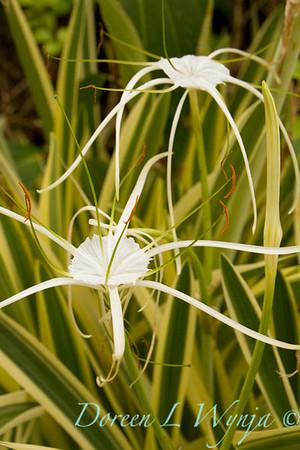 Hymenocallis littoralis Variegata_009
