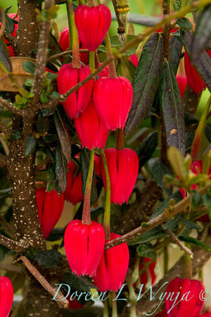 Crinodendron hookerianum_004