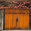 Parthenocissus tricuspidata 'Veitchii' - Rusted garage doors_0350