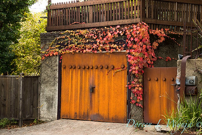 Parthenocissus tricuspidata 'Veitchii' - Rusted garage doors_0341