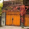 Parthenocissus tricuspidata 'Veitchii' - Rusted garage doors_0341