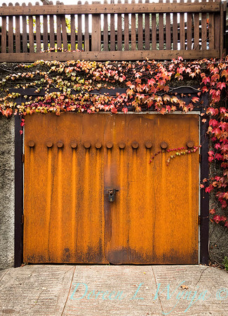 Parthenocissus tricuspidata 'Veitchii' - Rusted garage doors_0351