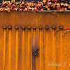Parthenocissus tricuspidata 'Veitchii' - Rusted garage doors_0353-2
