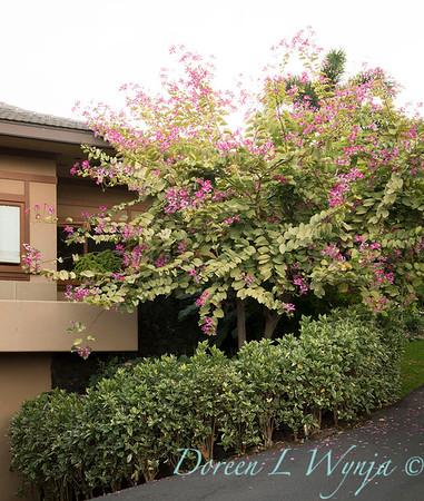Bauhinia variegata - Orchid Tree_3500