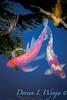 Koi fish_3578