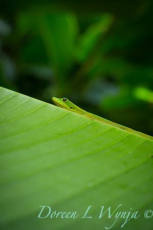 Heliconia caribaea leaf - Gecko_3562