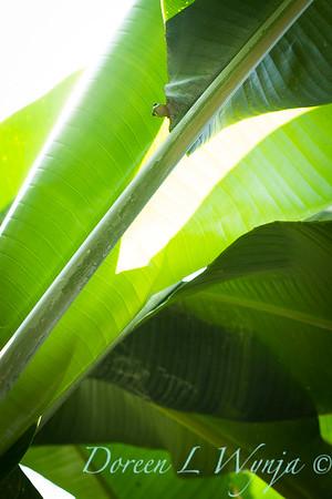 Heliconia caribaea leaf - Gecko_3566
