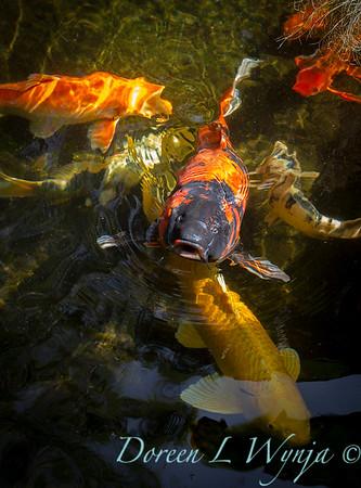 Koi fish 'Bubba'_4011
