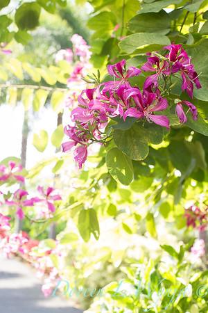 Bauhinia variegata - Orchid Tree_3507