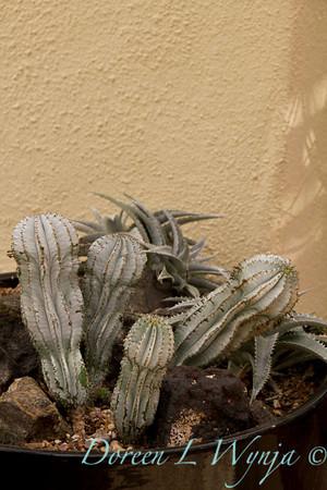 Euphorbia horrida 'Snowflake' Dyckia x fosteriana_7509