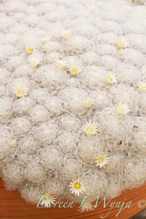 Mammillaria plumosa_ 5524