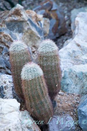 Echinocereus dasyacanthus_5507