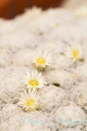 Mammillaria plumosa_ 5531