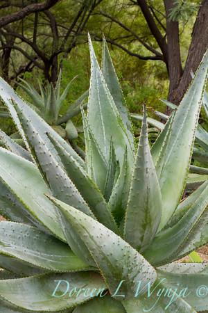 Aloe marlothii Liliaceae_7626