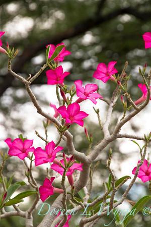 Adenium hybrid Desert Rose_5455