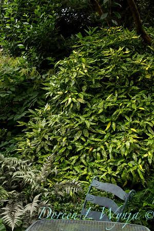 Aucuba japonica Variegata_002