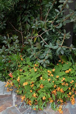 Begonia sutherlandii_2007