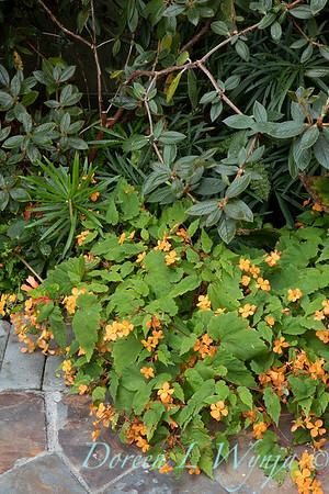 Begonia sutherlandii_2000