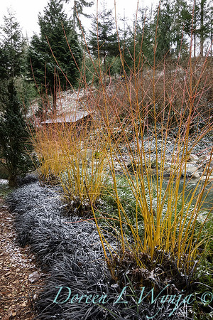 Cornus japonica 'Midwinter Fire' in a bed of Ophiopogon planiscapus 'Nigrescens' snow dusted_069