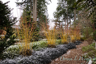 Cornus japonica 'Midwinter Fire' in a bed of Ophiopogon planiscapus 'Nigrescens' snow dusted_1079