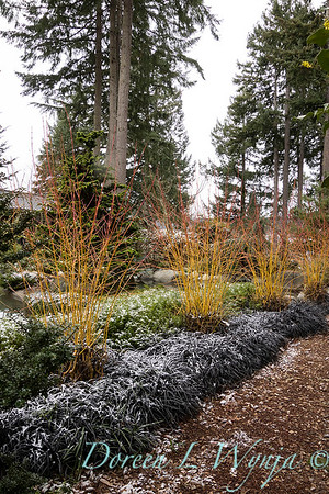 Cornus japonica 'Midwinter Fire' in a bed of Ophiopogon planiscapus 'Nigrescens' snow dusted_1076