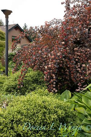 Cryptomeria japonica 'Globosa Nana' - Physocarpus opulifolius 'Monlo'_6892